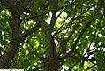 Syringa reticulata Ivory Silk 3zz.jpg