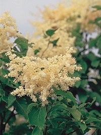Syringa reticulata USDA1.jpg