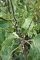 Syringa vulgaris, familija Oleacea 06.jpg