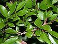 Syzygium buxifolium adeku01.jpg