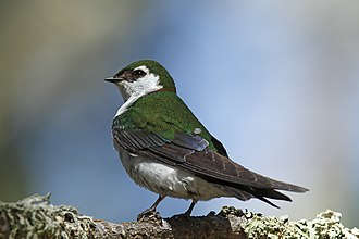 Violet-green swallow - Male in California, United States