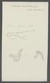 Taenia malleus - - Print - Iconographia Zoologica - Special Collections University of Amsterdam - UBAINV0274 105 19 0031.tif