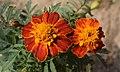 Tagetes patula Flower 3.jpg