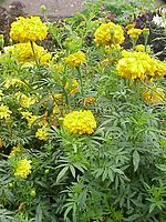 List Of Indian State Flowers