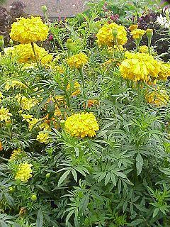 <i>Tagetes erecta</i> Species of flowering plant