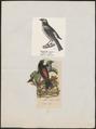 Tangara tatao - 1700-1880 - Print - Iconographia Zoologica - Special Collections University of Amsterdam - UBA01 IZ15900291.tif