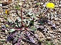 Taraxacum erythrospermum Habitus 2010March29 DehesaBoyaldePuertollano.jpg