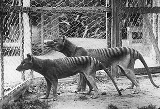 Hobart Zoo - A pair of thylacines in Hobart Zoo prior to 1921 (note that the male in the background is larger than the female)