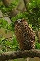 Tawny Fish Owl.jpg