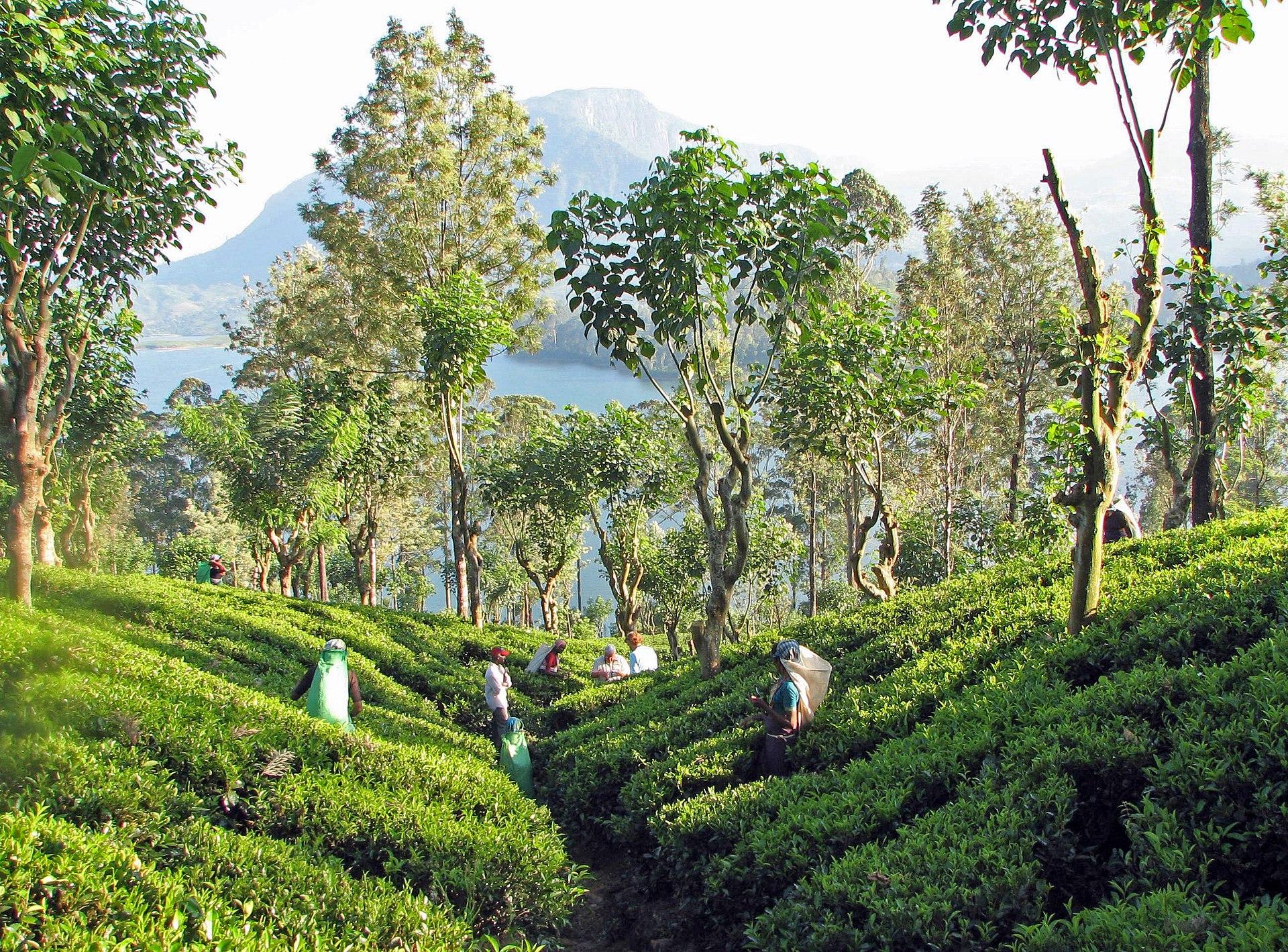 Sri Lanka Tea Tour