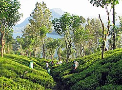 Tea plantation, Sri Lanka.jpg
