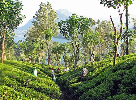 Tea plantation near Kandy