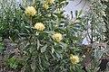 Telopea Shady Lady Yellow (34405688981).jpg