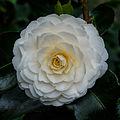 Tere schoonheid van de Camellia × williamsii 'Jury's Yellow' bloem. Locatie, Tuinreservaat Jonker vallei 03.jpg