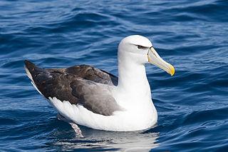 Shy albatross species of bird