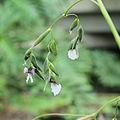 Thalia geniculata-IMG 7043.jpg