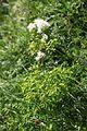 Thalictrum aquilegiifolium, Creux du Van - img 43400.jpg