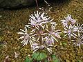 Thalictrum coreanum2.jpg