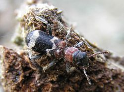 Thanasimus formicarius bialowieza forest beentree.jpg