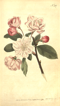 The Botanical Magazine, Plate 267 (Volume 8, 1794).png