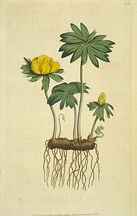The Botanical Magazine-Vol I Pl. 3.jpg