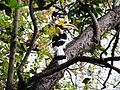 The Great Indian Hornbill at Jim Corbett National Park.jpg