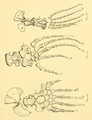The Osteology of the Reptiles-199 loijh juhg ig.png