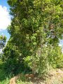 The clove tree in Pemba island.JPG