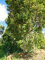 The clove tree in Pemba island.JPG