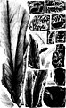 The fossil plants of the Devonian and Upper Silurian formations of Canada (microform) (1871) (19992163353).jpg