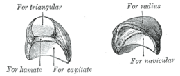 The left lunate bone, from Gray fig.222.png