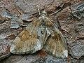 Thera obeliscata - Grey pine carpet (40917719332).jpg