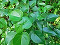 Thespesia populnea ( Leaves ).jpg
