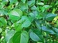Thespesia populnea ( Leaves ).jpg