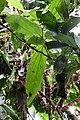 Thibaudia inflata (Ericaceae) (29941041562).jpg