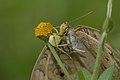 Thomisidae feeding Junonia almana on Acmella ciliata-Kadavoor-2015-08-20-002.jpg