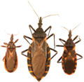 Three species of kissing bugs.PNG