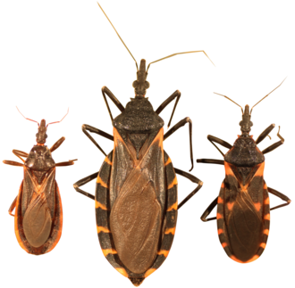Triatoma - (Left to right) Triatoma protracta, the most common species in the western U.S.; Triatoma gerstaeckeri, the most common species in Texas; Triatoma sanguisuga, the most common species in the eastern U.S.