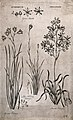 Three species of phalangine (Anthericum) plant; flowering st Wellcome V0043156.jpg