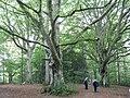 Three trees at Bowhill - geograph.org.uk - 982770.jpg