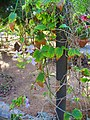 Thunbergia grandiflora 001.jpg
