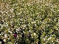 Thymus vulgaris 2020-06-06 9324.jpg