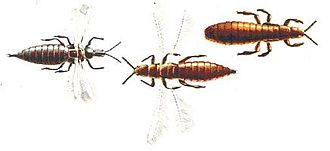 Thrips - Winged and wingless forms
