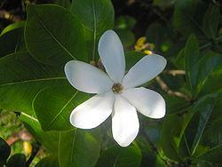 Imagenes de flor de Tiaré y de Plumería 250px-Tiar%C3%A9_tahiti