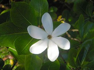 Gardenia taitensis - Image: Tiaré tahiti