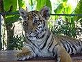 Tiger Cub (3294680226).jpg