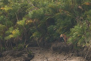 Sundarbans National Park - A tiger looks out from a forest of Mangrove Date Palms