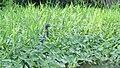 Tiger heron - panoramio.jpg