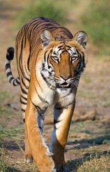 Bengal tiger ( P. tigris tigris ) in India's Jim Corbett National ...