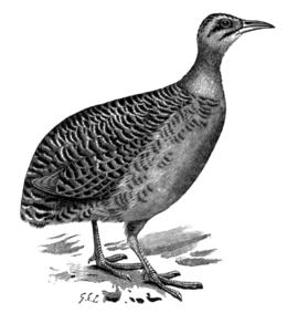 Tinamus majorAMF042LP